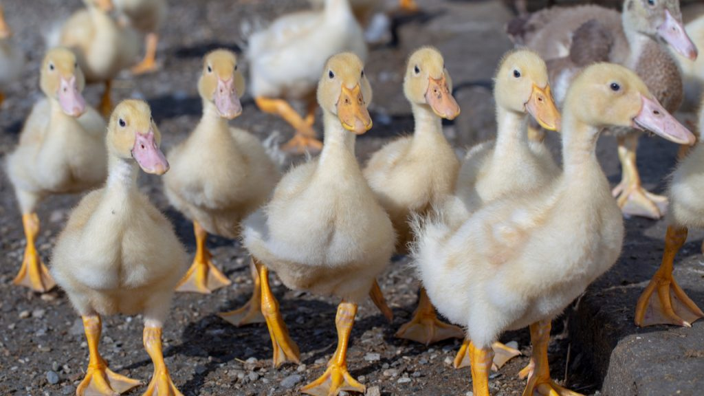 198 foyers et six départements touchés en France — Grippe aviaire