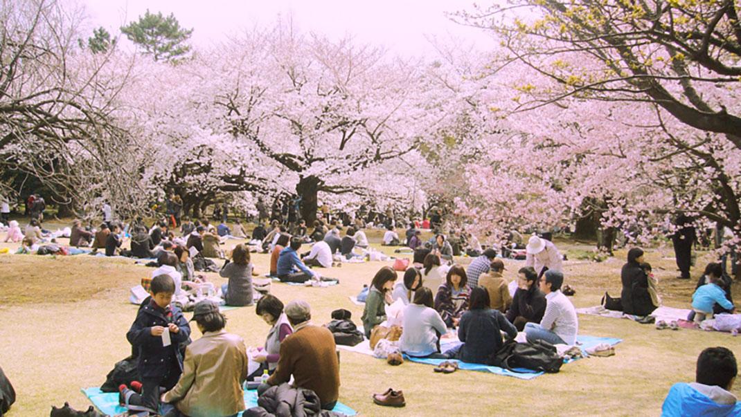 ls-japon-sakura