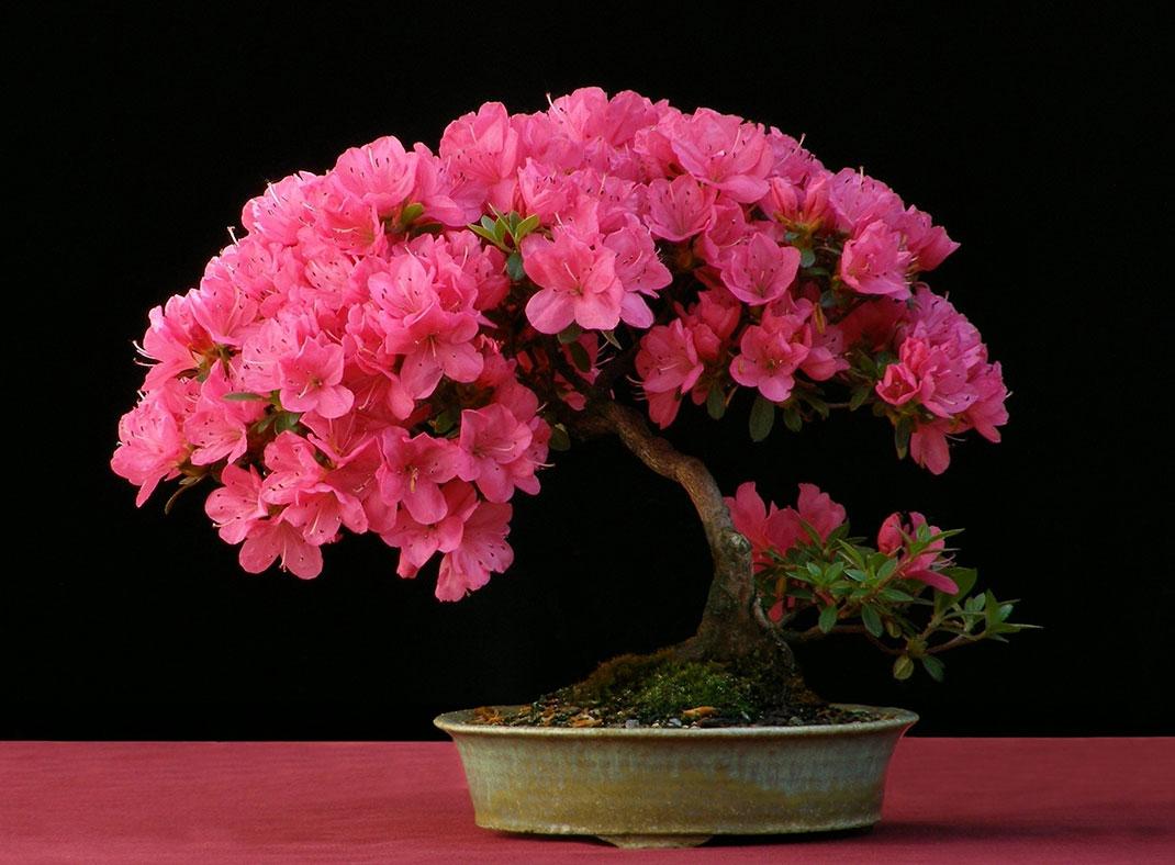 ls-bonsai-azalea