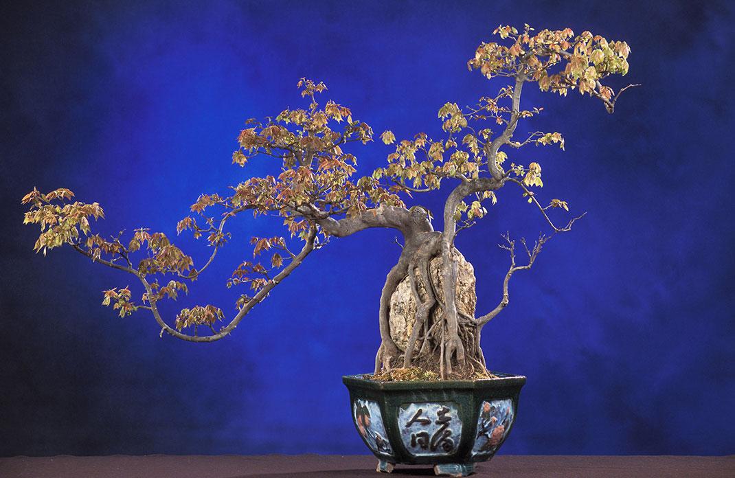 ls-bonsai-sekijoju
