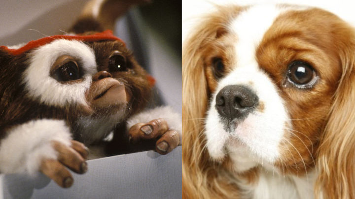 gizmo-cavalier-king-charles
